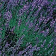 Lavender angustifolia - Vera - True lavender - 5 grams - Bulk Discounts available